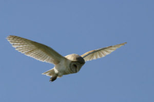 Barn Owl Spotted at the Cabins!