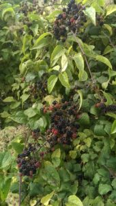 Blackberries at The Suffolk Escape