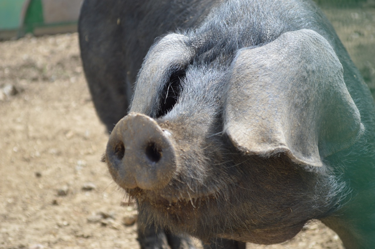 Andy-Glanville-Pig-Face-2014