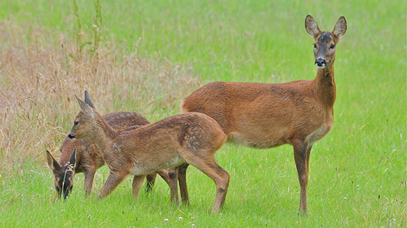 Roe Deer at the Suffolk Escape