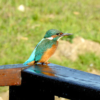 Wildlife at the Suffolk Escape – Kingfisher