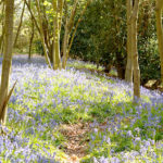 walking holiday escape suffolk bluebelle wood