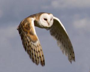 Barn-Owl-Flying1