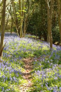 Bluebell-Woodland