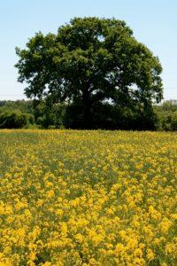 Field-of-Rape-Oak-Tree