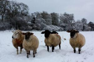 Hardy-Sheep