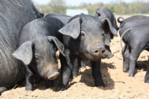 Large-Black-Happy-Piglets